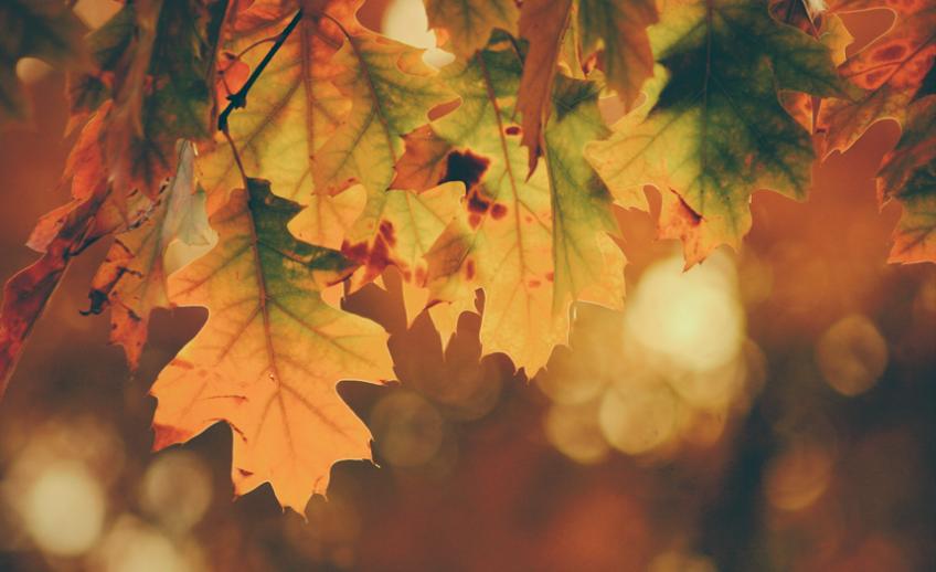 Yellow, green, and orange oak leaves