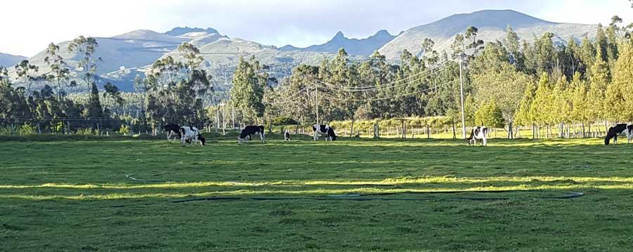 Cows at the Fundación Brethren y Unida campus, Picalqui, Ecuador.
